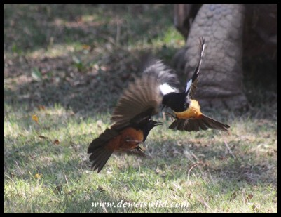 Joubert caught these two Mocking Cliff Chats in a tiff at the Rhino & Lion Nature Reserve