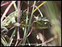 Flap-neck Chameleon (photo by Joubert)