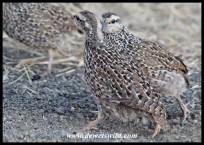 Natal Spurfowl chicks (photo by Joubert)