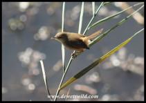 Tawny-flanked Prinia (photo by Joubert)