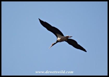 Black Stork (photo by Joubert)