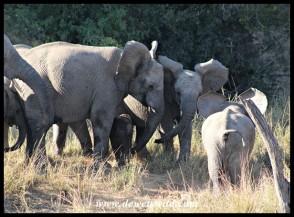 Baby elephant rescue at Tlopi (photo by Joubert)
