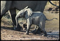Tiny youngster crossing next to mom (photo by Joubert)