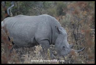 White Rhinoceros (photo by Joubert)