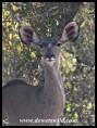 Kudu cow (photo by Joubert)