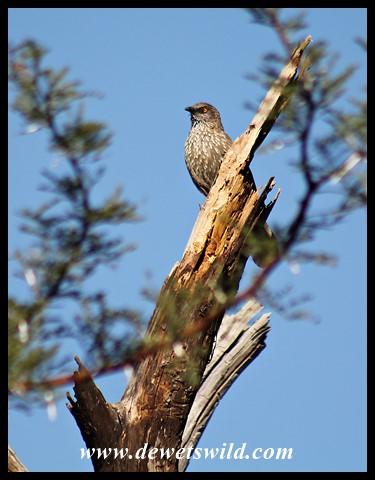 Arrow-marked Babbler (photo by Joubert)