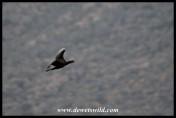 Reed Cormorant (photo by Joubert)