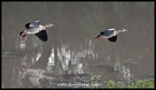 Egyptian Geese (photo by Joubert)