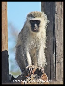 Vervet monkey waiting for a gap at our tent in Tlopi Tented Camp (photo by Joubert)