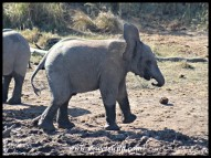 Shaking off the dust from his ears (photo by Joubert)