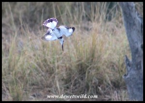 Pied Kingfisher diving into the water at Tlopi