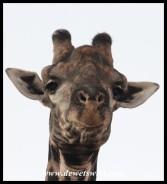 Giraffe eyeing us from a lofty vantage point