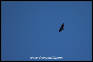 Verreaux's Eagle on the wing