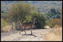 Kudu cow