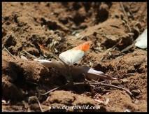 Speckled Sulphur Tip butterfly
