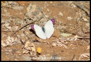 Common Purple Tip butterfly