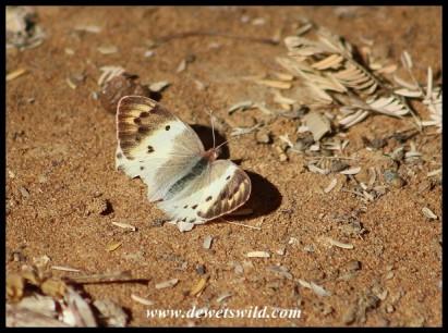 Scarlet Tip butterfly (female)
