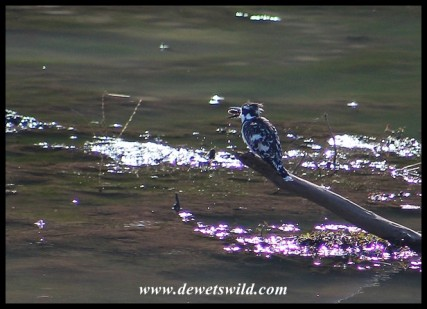Pied Kingfisher with its catch
