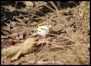 Bushveld Orange Tip butterfly