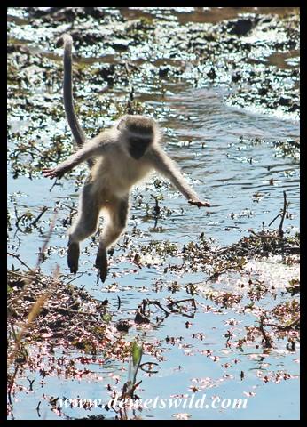 Vervet monkey jumping across the stream feeding into Tlopi's dam