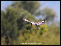 Pied KIngfisher hovering above the dam at Tlopi