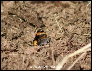 Yellow Pansy butterfly on dry rhino dung