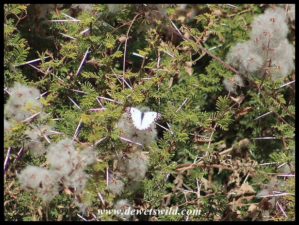 Brown-veined White in what I think is an Albizia (False Thorn) bush