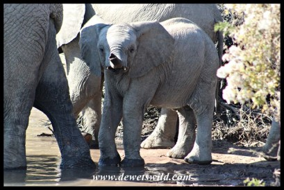 Cute little elephant testing the air