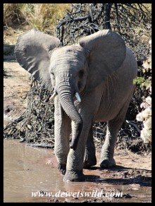 Young elephant trying to chase away the birds at the water's edge