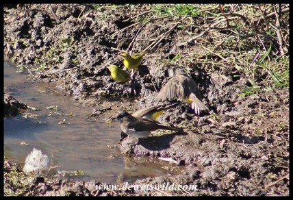 Cape White-eyes and Dark-capped Bulbuls sharing a drink