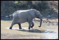 Elephant cow that's had enough to drink now