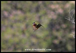 White-fronted Bee-eater in flight
