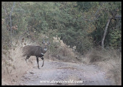 Bushbuck Ram just outside the entrance into Tlopi Tented Camp