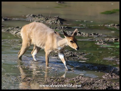 Bushbuck ewe crossing the shallows of Tlopi's dam