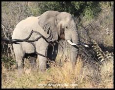Big elephant bull in musth