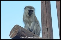 Vervet monkey waiting for a gap at our tent in Tlopi Tented Camp