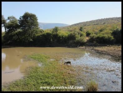 Bushbuck ewe wading into the dam at Tlopi