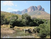 Elephants arriving at Tlopi's dam