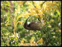 Amethyst Sunbird Female