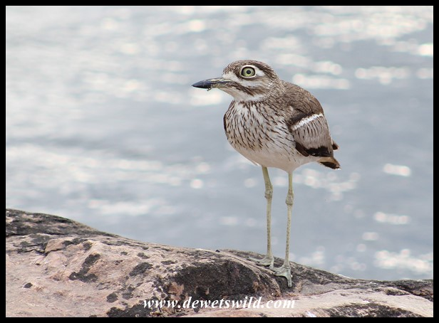 Water Thick-knee at the causeway over the Sabie River