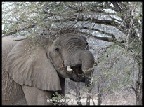 Elephant munching on a thorny branch