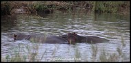 Hippos in a quiet pool of the Sabie