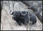 Buffalo chewing the cud