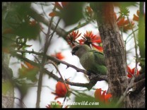 Brown-headed Parrot (photo by Joubert)
