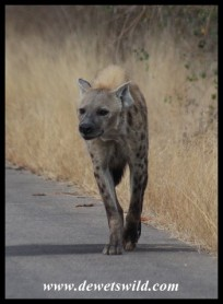 Spotted Hyena on the move (photo by Joubert)