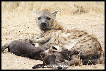 Spotted Hyena family (photo by Joubert)