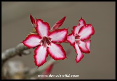 Beautiful impala lily in bloom at Skukuza's reception (photo by Joubert)