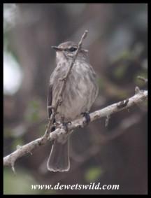 African Dusky Flycatcher (photo by Joubert)