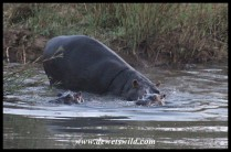 Hippos returning to the hippo pool in the early morning