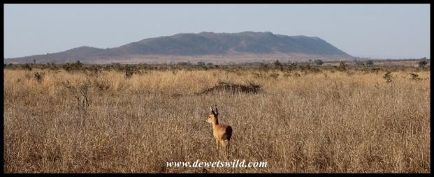 Steenbok with Muntshe Mountain in the background